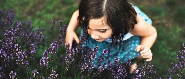 Toddler smelling lavendar flowers